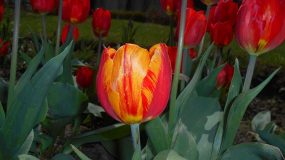 Tulip breaking virus 2