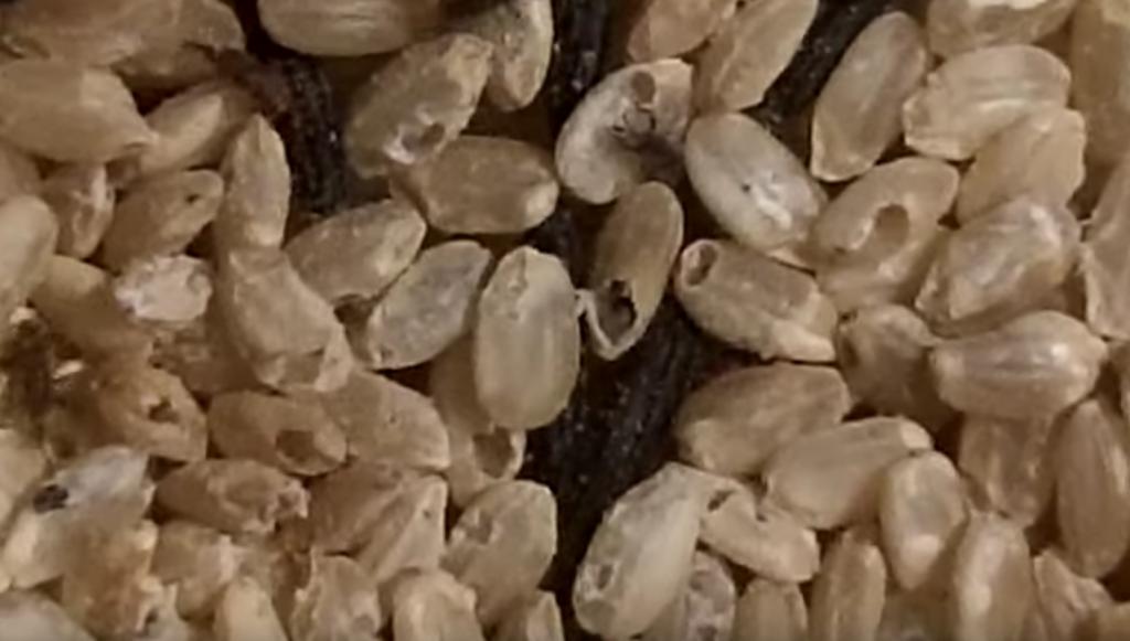Gargarite Sitophilus granarius Cum să scapi de