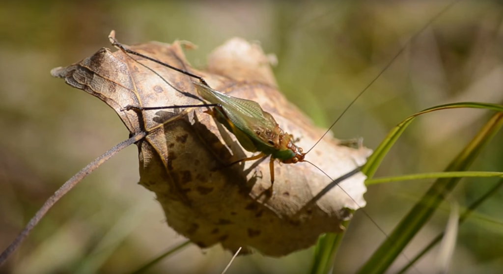 Greieri Gryllidae Cum să scapi de