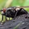 Muste de casa Diptera Cum să scapi de