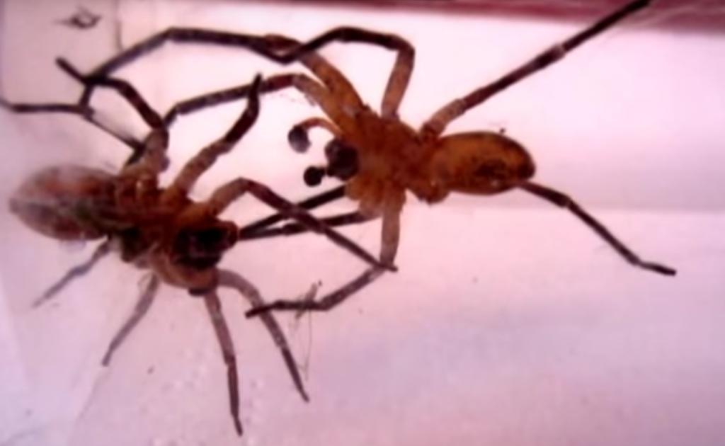 Paianjeni Araneae Cum să scapi de