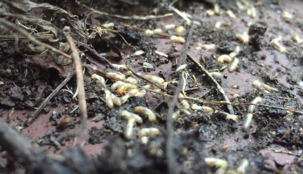 Termite Isoptera Cum să scapi de