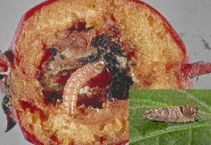 Molia orientala a fructelor Cydia molesta (2)