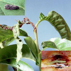 Molia orientala a fructelor Cydia molesta