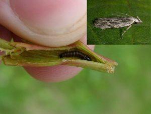 Molia vargata a piersicului Anarsia lineatella Gutui