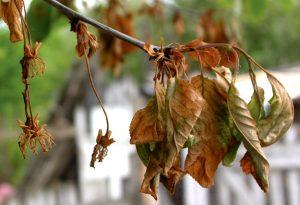 Monilioza Monilinia laxa