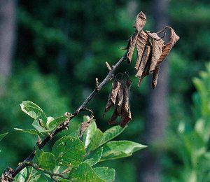 Monilioza sau putregaiul fructelor Monilinia laxa Prun