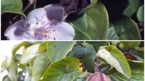 Mumifierea fructelor tinere (monilioza) Monilinia linhartiana