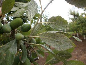 Paduchele-cenusiu-al-prunului-piersicului-Hyalopterus-pruni