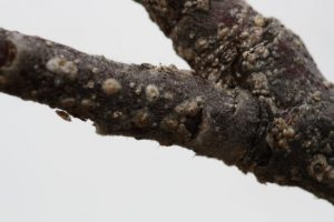 Paduchele din San Jose Quadraspidiotus perniciosus Visin