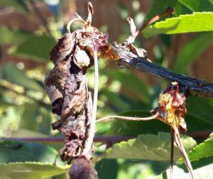 Par Monilioza Monilia fructigena