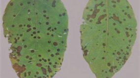 Patarea bruna a frunzelor Fabrea maculata