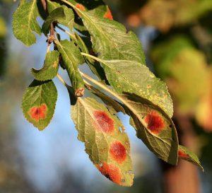 Patarea rosie a frunzelor de prun Polystigma rubrum Prun