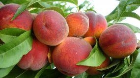 Piersic_red heaven_ Prunus persica