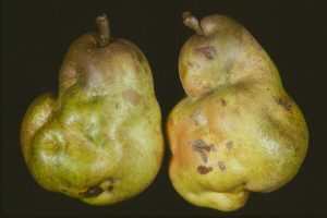 Pietrificarea parului Pear stony pet virus