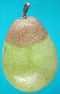 Putregaiul amar al fructelor Glomerella cingulata