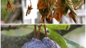 Putregaiul brun si mumifierea fructelor Monilinia laxa