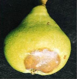 Putregaiul fructelor și coletului (fitoftorioza) – Phytophthora cactorum