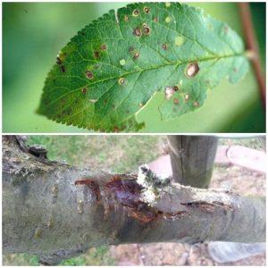 Ulceratia si ciuruirea bacteriana pomilor samburosi Pseudomonas syringae pv. mors-prunorum