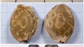Varsatul prunelor Plum pox virus
