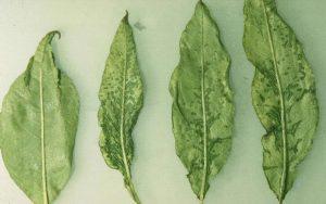 Virusul rasucirii frunzelor de cires Cherry leaf roll virus Visin