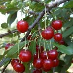 Visin Prunus cerasus