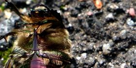 coleotteri Coleoptera come sbarazzarsi dei