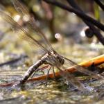 libellule Anisoptera come sbarazzarsi delle