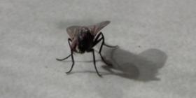 mosche Diptera informazioni sulle