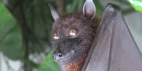 pipistrelli Chiroptera come sbarazzarsi dei