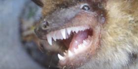 pipistrelli Chiroptera informazioni sui