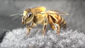 abejas anthophila como eliminar las