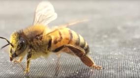 abejas anthophila como prevenir la plaga de