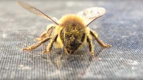 abejas anthophila informacion sobre