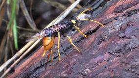 avispas de la madera siricidae como prevenir la plaga de
