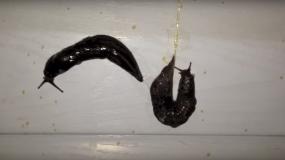 babosas gastropoda como prevenir la plaga de
