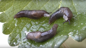babosas gastropoda informacion sobre