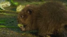 castores castors como prevenir la plaga de