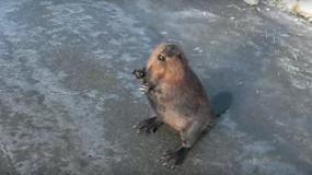 castores castors informacion sobre