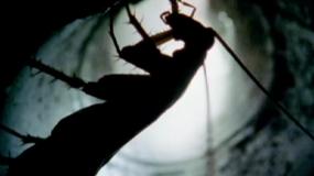cucarachas americanas periplaneta americana como eliminar las
