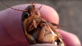 cucarachas americanas periplaneta americana como prevenir la plaga de