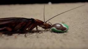 cucarachas americanas periplaneta americana informacion sobre
