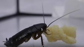 cucarachas orientales blatta orientalis como prevenir la plaga de