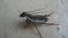 cucarachas orientales blatta orientalis informacion sobre