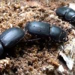 escarabajos coleoptera como prevenir la plaga de