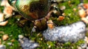 escarabajos coleoptera informacion sobre