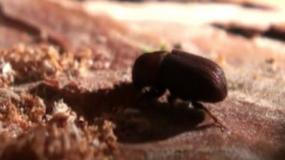 escarabajos de madera heterobostrychus aequalis como eliminar los