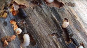 escarabajos de madera heterobostrychus aequalis como prevenir la plaga de