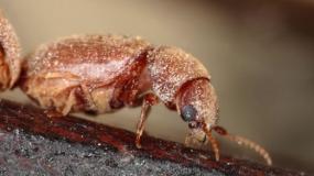 escarabajos del tabaco lasioderma serricorne informacion sobre