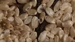 gorgojo del grano sitophilus granarius como eliminar los